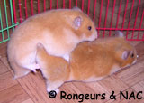 Accouplement hamsters syriens